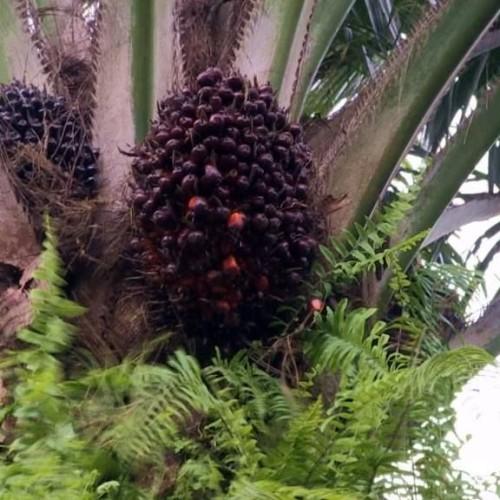 Olio di palma, Report attacca e le aziende fanno dietrofront