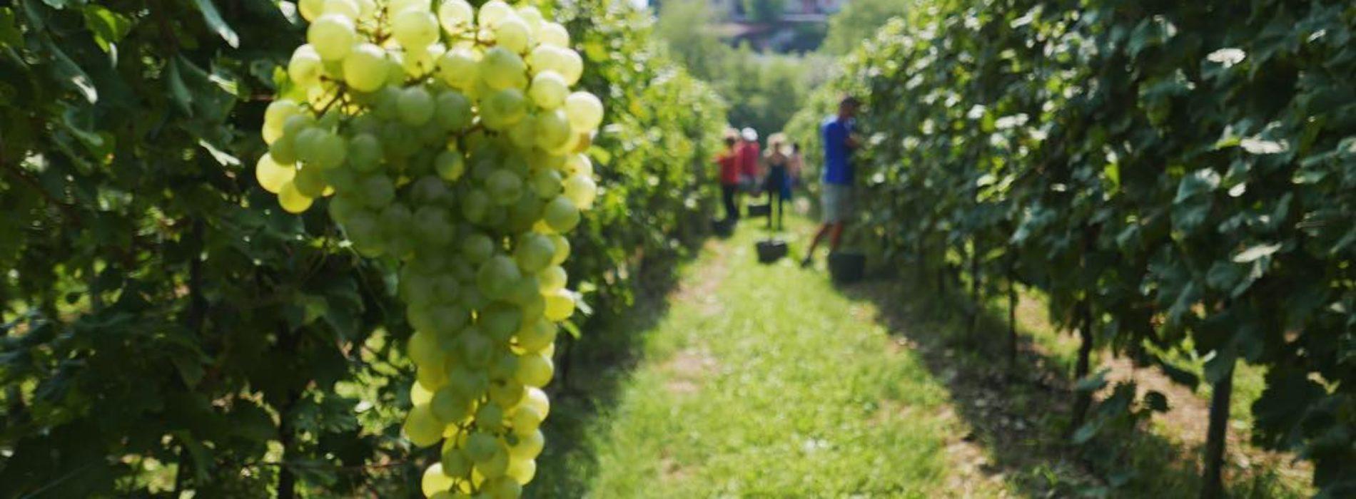 Cos'è il vino ancestrale e il nuovo Nynphe di Giangirolami